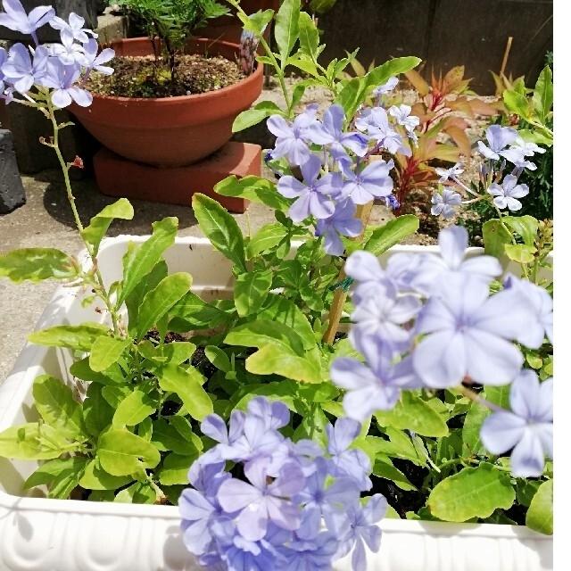 ルリマツリ 苗 1株 ③ ハンドメイドのフラワー/ガーデン(その他)の商品写真