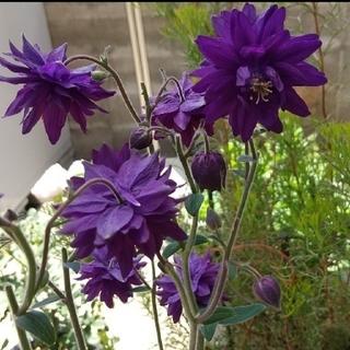 アクレイギア ブルーバロー 種子 (その他)