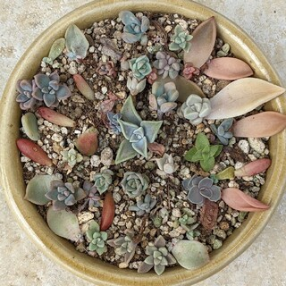 多肉植物 10頭セット 希少種も 葉挿しの赤ちゃん株(その他)
