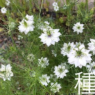 種☘️ニゲラ 白花 【300粒】(その他)