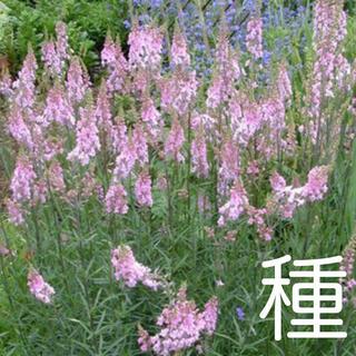 種☘️リナリア ピンク【100粒】(その他)