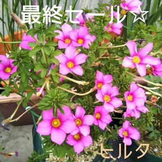☆値下げ☆残わずか☆オキザリス ヒルタ 球根 11個 Hirta(プランター)