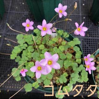 ☆値下げ☆レア☆オキザリス コムタタ 球根 12個 commutata(プランター)