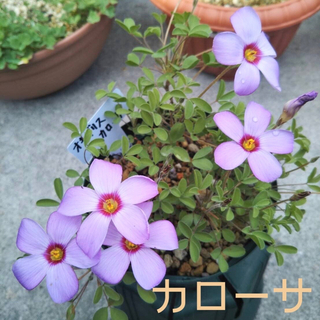 ☆値下げ☆超レア☆オキザリス カローサ 球根 6個 Callosa(プランター)