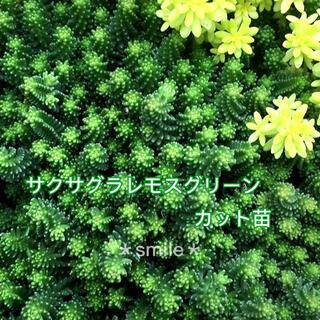 多肉植物 セダム サクサグラレモスグリーン カット苗(その他)