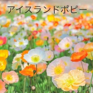 アイスランドポピー  花種  たくさん(その他)