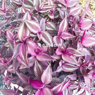 観葉植物 トラディスカンチア サブリナ カット苗(その他)