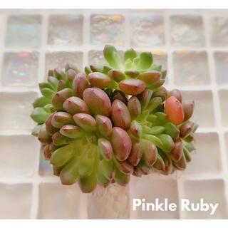 多肉植物 エケベリア *  ピンクルルビー群生 5頭  抜き苗 *(その他)