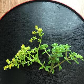 浜万年草 カット苗 多肉植物 45グラム(その他)