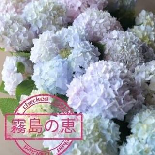 大人気あじさい 四季咲き 霧島の恵 正規品ラベル付き(その他)