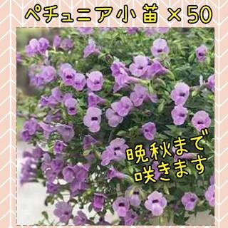 トレニア 小苗×50苗set(その他)