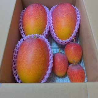 家庭用 宮崎県産 完熟マンゴー1.3キロ(フルーツ)