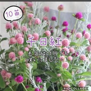 千日紅苗  20苗set完全無農薬ピンク(その他)