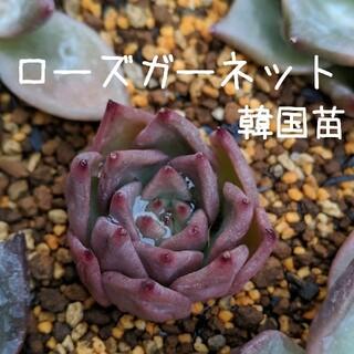 ローズガーネット 韓国苗 多肉植物 2(その他)