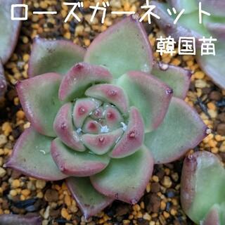 ローズガーネット 韓国苗 多肉植物 3(その他)