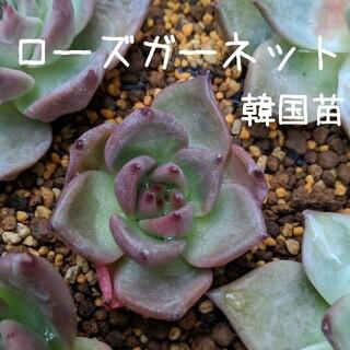 ローズガーネット 韓国苗 多肉植物 4(その他)