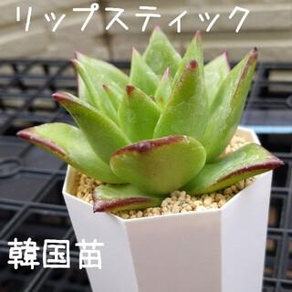 リップスティック 韓国苗 多肉植物 白(その他)