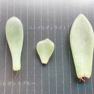 葉挿し3種セット(その他)