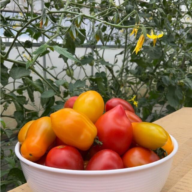 ミニトマト 1.3㌔+重量おまけ付 7種類のセットアイコ、フラガール、チカ他 食品/飲料/酒の食品(野菜)の商品写真