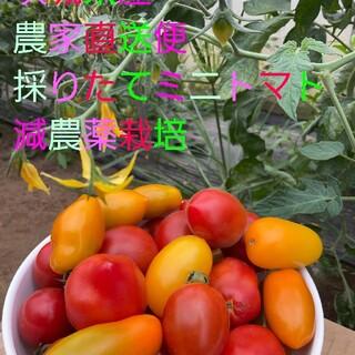 ミニトマト 1.3㌔+重量おまけ付 7種類のセットアイコ、フラガール、チカ他