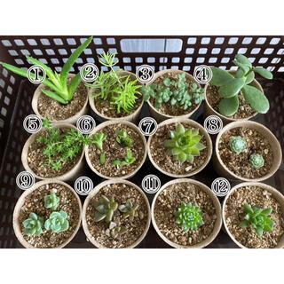 多肉植物 12種類 セット まとめ売り(その他)