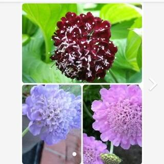 スカビオサ 種  赤紫  ①  パープル、アメジストピンク 3種類セット(プランター)