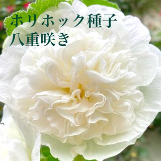 ホリホック☆タチアオイ☆八重咲き☆白(その他)