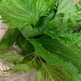 無農薬 青しそ 抜き苗 20葉(野菜)