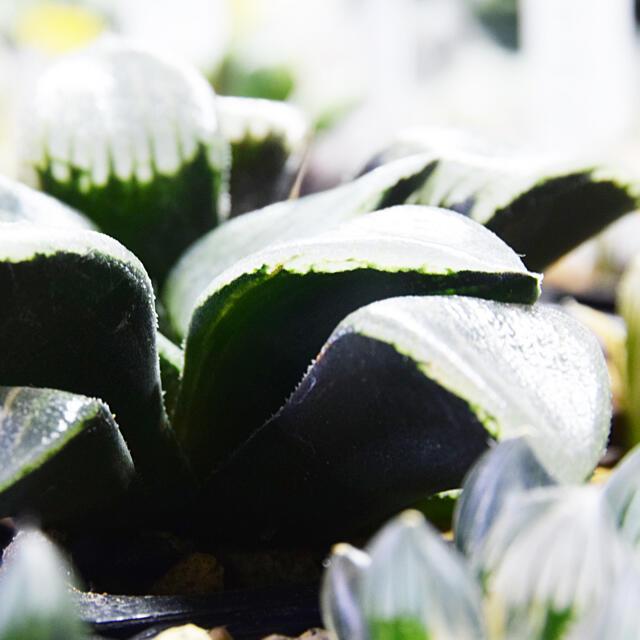 ハオルチア コンプト錦 ハンドメイドのフラワー/ガーデン(その他)の商品写真