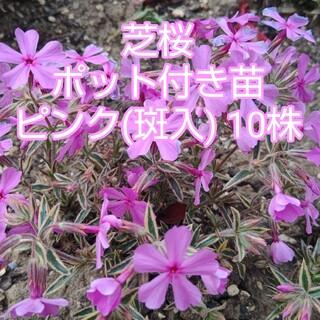 芝桜 ポット付き苗 ピンク(斑入) 10株(その他)