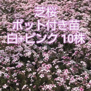 芝桜 ポット付き苗 白+ピンク 10株(その他)