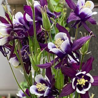 オダマキ(紫)の苗 根抜き苗 1株(その他)