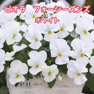 ビオラ フォーシーズンズ ホワイト 15粒(その他)