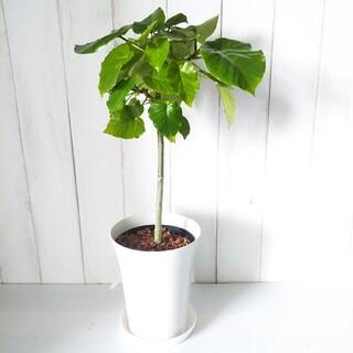 ①フィカスウンベラータ❗️大人気の可愛い観葉植物❗️受皿プレゼント❗️(その他)