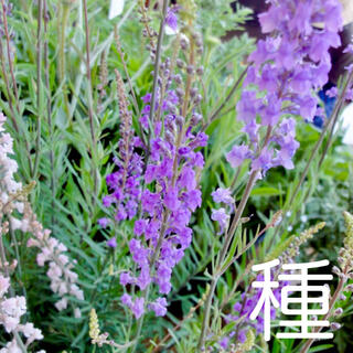 種☘️リナリア 紫【100粒】(その他)