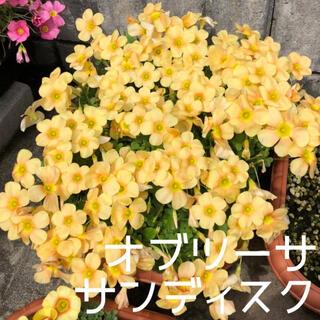 ☆値下げ☆レア☆オキザリス オブツーサ Sundisc 球根 4個(プランター)