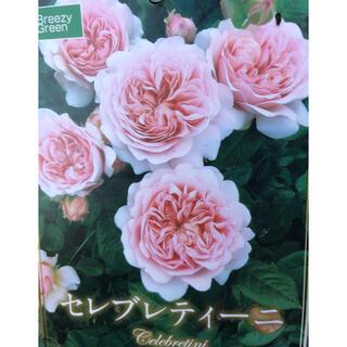 セレブレティーニ 珍しいバラ バラ苗 大苗 四季咲き(その他)