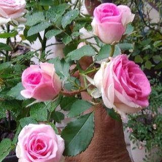 15cm程の小さな苗、薔薇🌹『ミミエデン』🌹挿し木苗(その他)