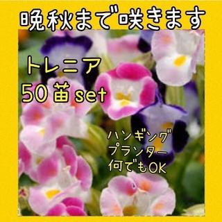 トレニア 50苗set(その他)