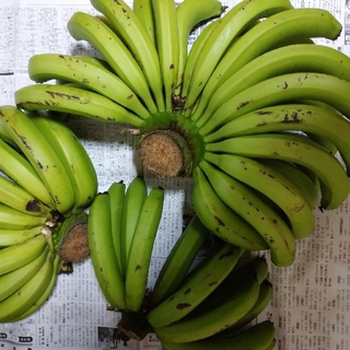 台湾系島バナナ 三尺バナナ 農薬不使用 激レア南国フルーツ果物特産物希少国産(フルーツ)