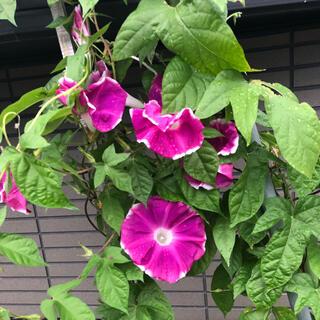 朝顔 あさがお アサガオ タネ 種 80〜100粒 白縁 紫 ピンク (その他)