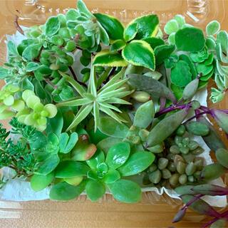 多肉植物カット苗寄せ植え アロマティカス入り