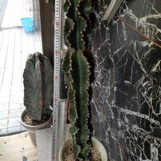 多肉植物☆アビシニカ(巒岳)(その他)