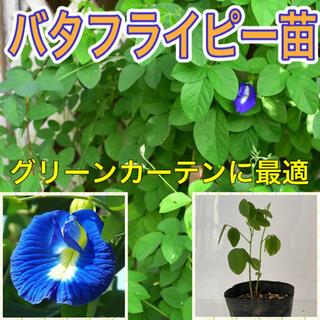 バタフライピー苗 1鉢(2株)(プランター)
