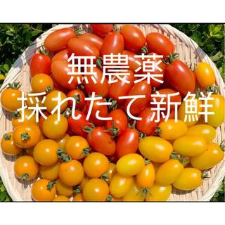 無農薬 栽培ミニトマト 1㎏以上(野菜)