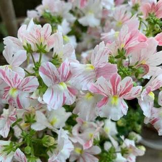 ネメシア 絞り咲きピンク 種 10粒(その他)