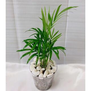 テーブルヤシ 観葉植物 ハイドロカルチャー(プランター)