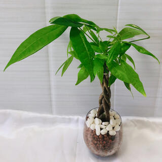 パキラ ねじり 観葉植物 ハイドロカルチャー(プランター)