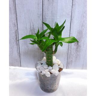 キングバンブー 観葉植物 ハイドロカルチャー(プランター)