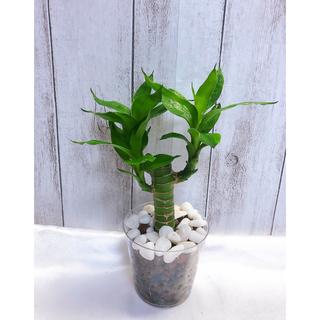キングバンブー ハイドロカルチャー 観葉植物(プランター)